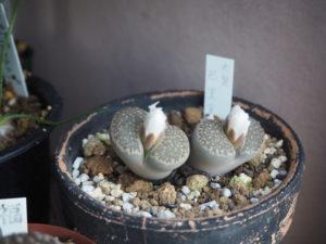 冬型の多肉植物