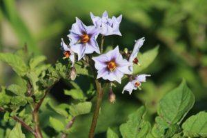 ジャガイモ 花