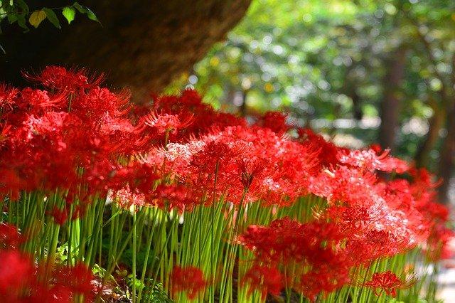 彼岸花の育て方や別名、種類、花言葉、毒についても